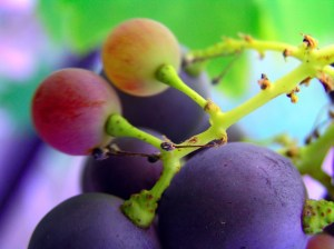 grape skin tannin